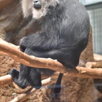 もうすぐ主役!オサルサン特集 円山動物園
