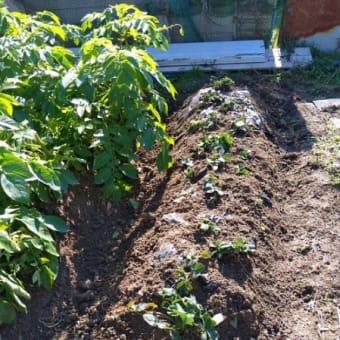 サツマイモの収穫&イチゴの移植2020の巻