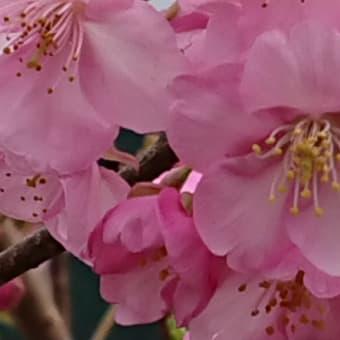 サイタサイタ~早咲きのサクラ~