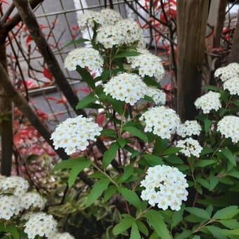 コデマリ満開!フラワーガールも咲き始めました