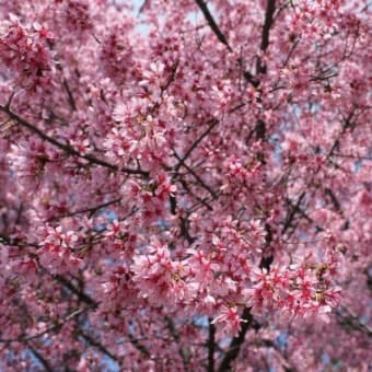 根府川で「おかめ桜」が見ごろを迎えてます♪ 漁師の浜焼あぶりや 小田原早川漁村店