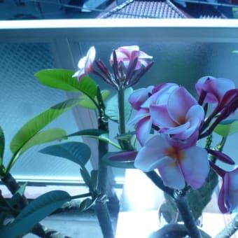プルメリアが咲きました