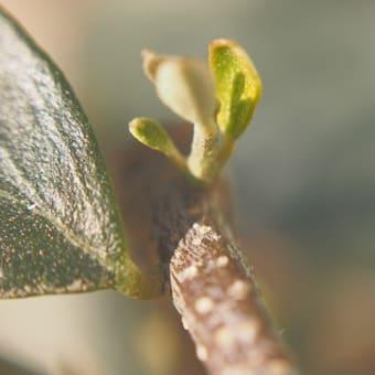 大寒波の中のオリーブ新芽