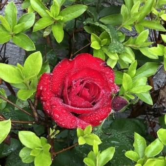 ツツジの花が散った後に咲く深紅の薔薇