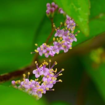 ●7月の我が家の花(6)コムラサキの花 メドーセージ オリヅルラン サンドリーム オキザリス・トリアングラリスなど