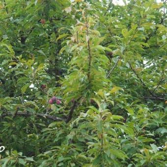 「酢桃の実が生りました」 MY GARDEN 2019.08.13撮影