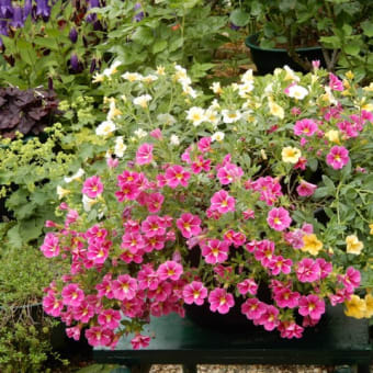 庭の様子・5月~6月(カリブラコア・ホタルブクロ・ユリノキ・コナラ)