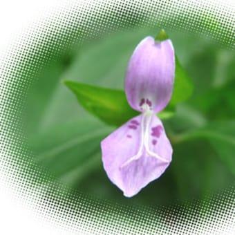 小石川植物園で花弁が2枚だけのハグロソウが咲き始めています