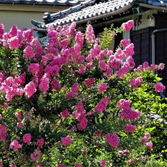 サルスベリ ・三色の花散歩