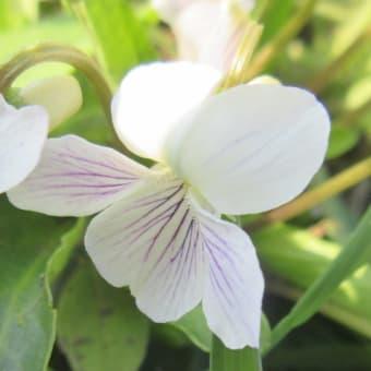 スミレ 白花