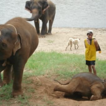 Elephant Nature Parkでボランティア~象保護施設~