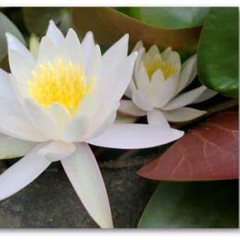 石臼に今年も睡蓮の花が咲いた