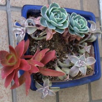 Myガーデンと花壇の多肉植物の鉢と花:まとめ