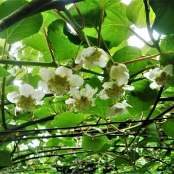 19-06-08 キ-ウイフルーツ
