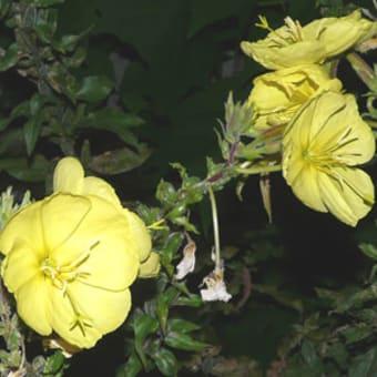メマツヨイグサ(雌待宵草)も花は夜咲き昼は萎んでしまいます
