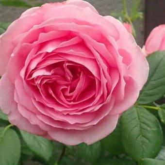 バラ みやこです まだ咲いていましたが 2番花に追いやられ切りました (~_~メ)