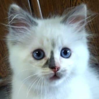 4月生まれのラグドールの子猫☆彡