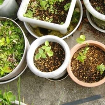 生花のパラを鉢植えに