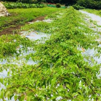 自然薯自社農園からの便り 箱根自然薯の森 山薬