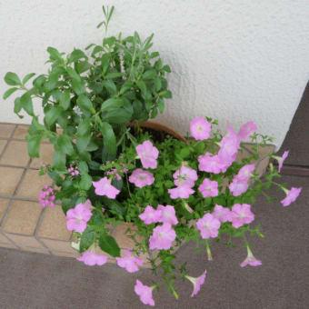 7/5、7/12 寄せ植え鉢-Lと夏の花