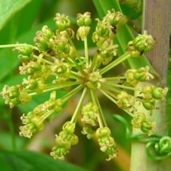 田島ヶ原サクラソウ自生地はシオデがアチコチで花をつけています