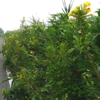 荒川自転車道迂回路沿道は大きな植物でいっぱいです