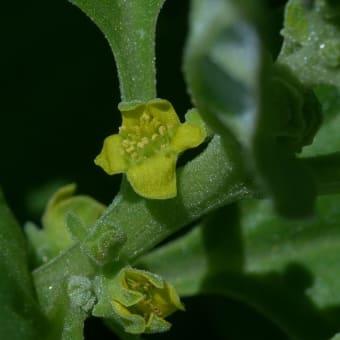 ツルナ(蔓菜)