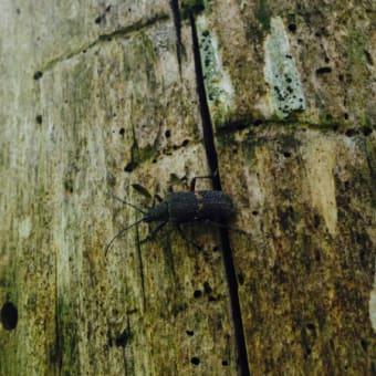 アラメハナカミキリ