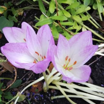 秋に咲く花 コルチカム