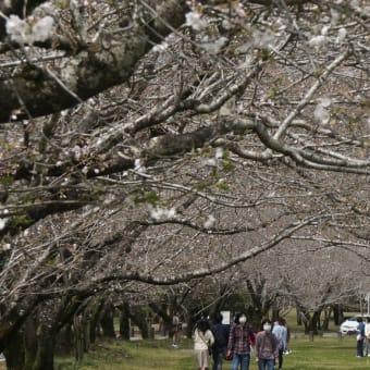 西都原古墳群の桜開花状況(20.3.29(日))