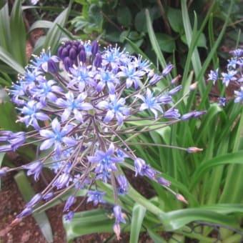 「バンマツリ」と「シラー」の開花