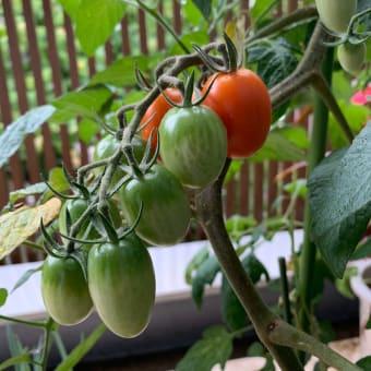 家庭菜園2020梅雨