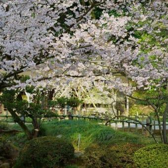 ●兼六園 2020年 桜(2) 瓢池