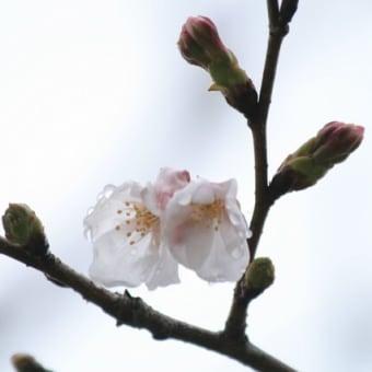 店のソメイヨシノも少し咲きました!