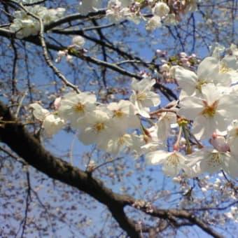 ★湘南のことしの桜・・・パート2★