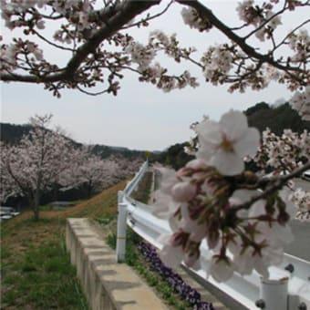 桜の隠れ名所