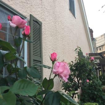 ピエール・ド・ロンサールが咲き始めました。