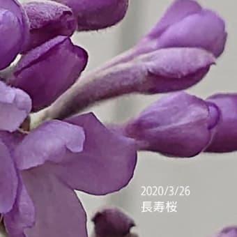 長寿桜とその下のヒメウズそして長寿梅…同じ長寿がついても科は違う科の子達です。
