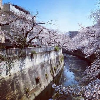 神田川の桜(令和3年3月23日)