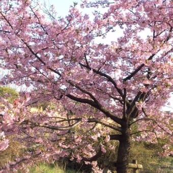 桜の季節なのに・・・コロナウイルスに悩む