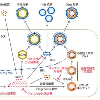 B型肝炎治療、新機序薬の開発に期待 メディカルトリビューンから