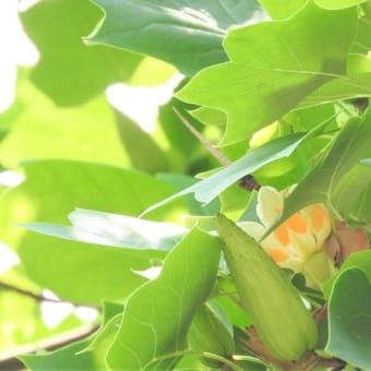 ユリノキ    ショカを待ちわびて       東京都江東区都立の森