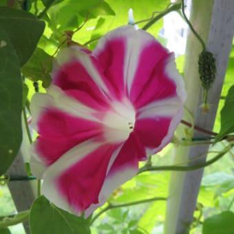 2020年8月前半のアサガオ:8/2~8/8~ 富士の紅、濃い紫、など4種の花が咲く