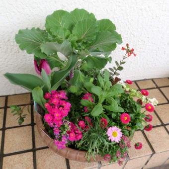 4/3 寄せ植え鉢-H:チューリップの蕾他