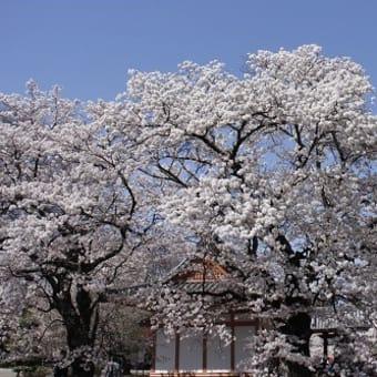 わに塚の桜と神代桜