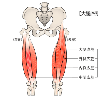 膝周囲の筋肉その5