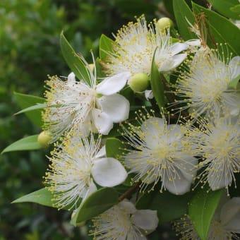 樹に咲く花 (68) ギンバイカ