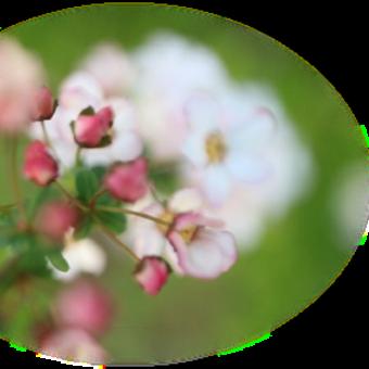4 / 9 めぐり~( 紅花ユキヤナギ~芝桜 ) と ベゴニア