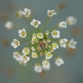 4月の雑草倶楽部、鶴見川堤防で撮り卸の花たちでございます。
