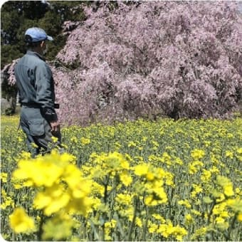 ◆ピンクと黄 春色絵巻 桜と菜の花